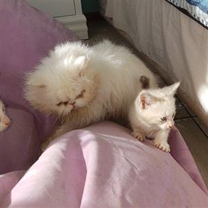 persian and ragdoll kittens