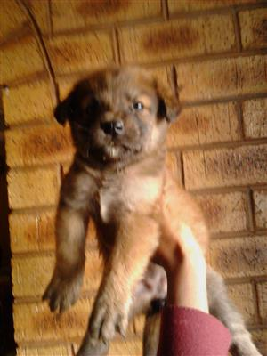 German Shepard Female puppy
