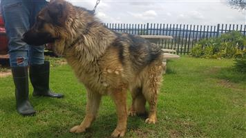 German Shepherd Sable Male