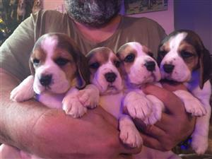 Beagle puppies for new homes