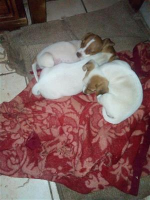 Royal Jack Russell's