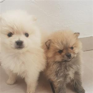 mini toypom puppies