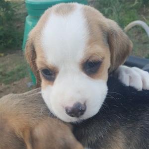 beagle tri puppies