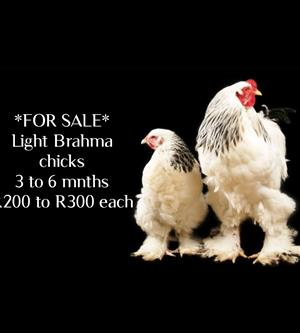Brahma chicks