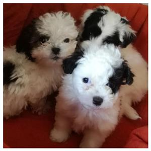 Morkie puppies , males.