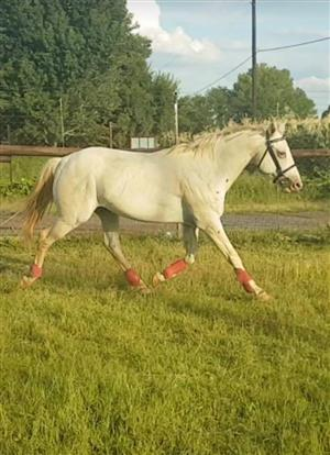 Stunning Appaloosa stallion for sale
