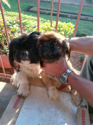 Pikenees puppies for sale