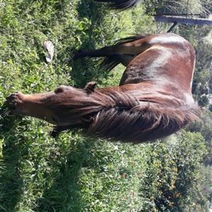 Very tame minni horse for sale