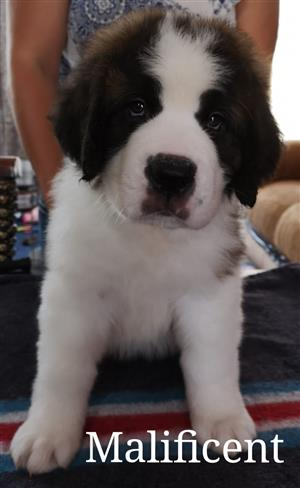 st bernard in Dogs and Puppies in South Africa | Junk Mail