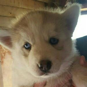 Siberian puppies for sale