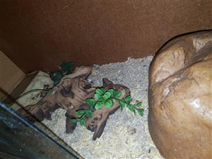 corn snake with cadge and everything