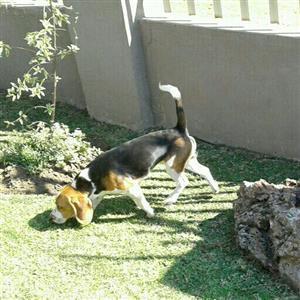 Registered beagles for sale