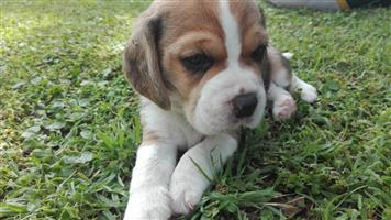 TOP QUALITY TRI-COLOUR BEAGLE PUPPIES FOR SALE
