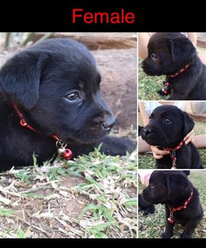 Black Labrador Puppies