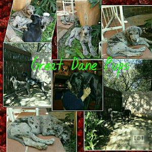 Registered Great Dane Puppies