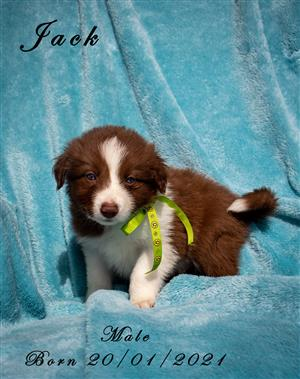 Beautiful adorable Border Collie puppies