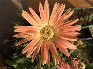 Gerbera Jamesonii. Barbeton daisies