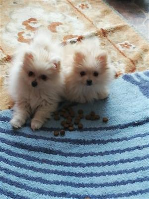 2 female toypom puppies for sale