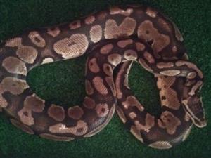 Ball python pastel