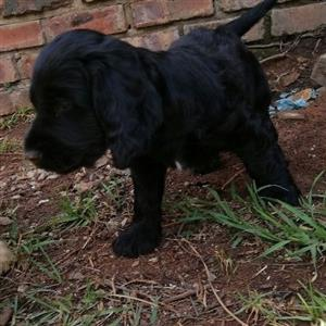 Last Cocker Spaniel Male Available