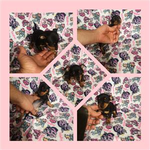 Miniature Doberman Pinscher Short Leg Puppies Microchip fitted ^¿Vaccinated