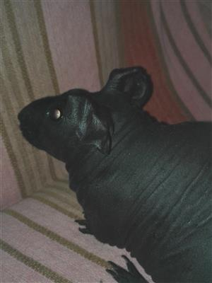 "Skinny Pig called ""DUDE"""