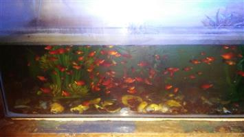 """Molly"" fish for sale with tank"