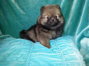POMERANIAN MINITURE PUPPIES FOR SALE TOY POM