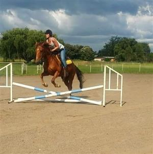 Boerperd x Saddler