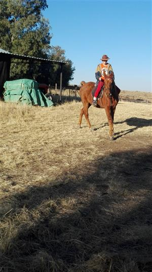 4 unregistered saddlebred horses