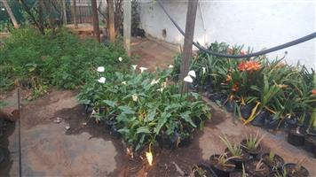 PLANTS, INCAS, ARUM, ALOE VERA,CLIVIAS & SCHEFFLERA