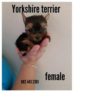 Yorkshire terrier female very small