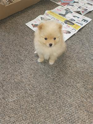 Beautiful Pomerian puppy