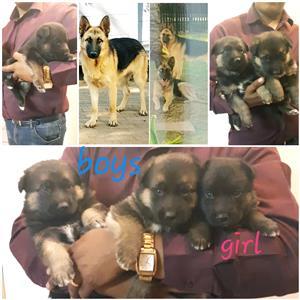 German shepherd pups available