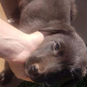 Labrador Border collie pups