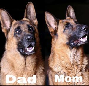 German Shepherd Puppie's