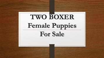 TWO BOXER Female Puppies For Sale