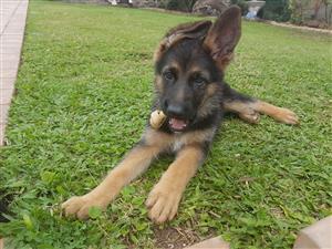 Registered germansherphed pup