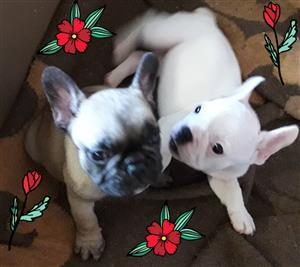 French Bulldog puppies to be rehomed
