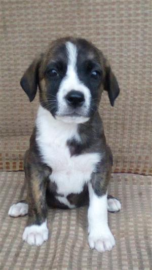 Unique Boston Terrier cross Labrador puppies for sale.