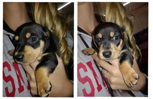 Duchund puppy for sale