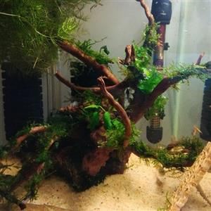 Planted driftwood and Spiderwood for sale