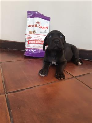 GREAT DANE LARGE BREED PUPPIES FOR SALE HARTBEESPOORT/ PRETORIA/ CENTURION