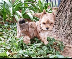 Sable Colour Yorkie puppies