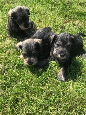 8 Weeks Old KUSA Registered Miniature Schnauzer Puppies