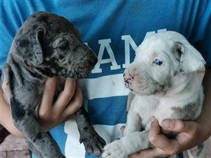 Gorgeous Registered Giant breed Great Dane puppies available