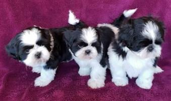 SHIH TZU X PUPPIES