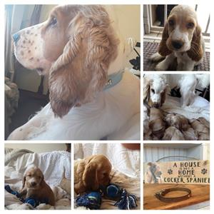 Beautiful white +gold cocker spaniel pups for sale !!