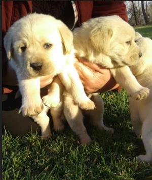 Beautiful Golden Labrador puppies