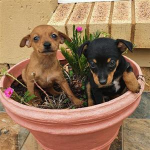 mini doberman pinscher pups